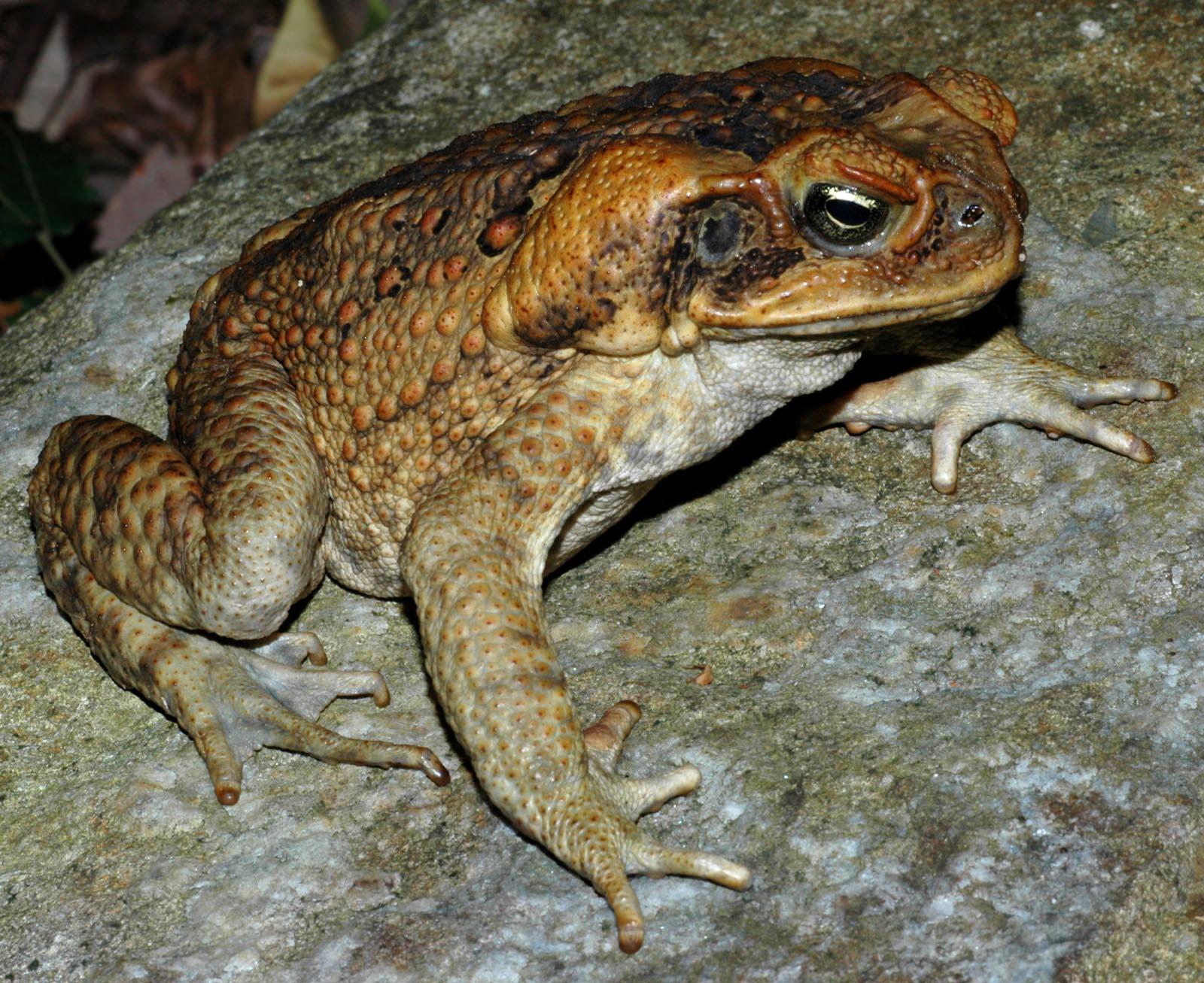 Самая большая известная жаба - ага (bufo marinus)